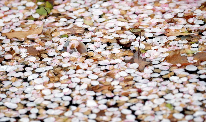 La boca de una carpa se ve en un estanque cubierto de pétalos de flores de cerezo en un parque en Tokio, Japón, el 2 de abril de 2018. REUTERS / Toru Hanai