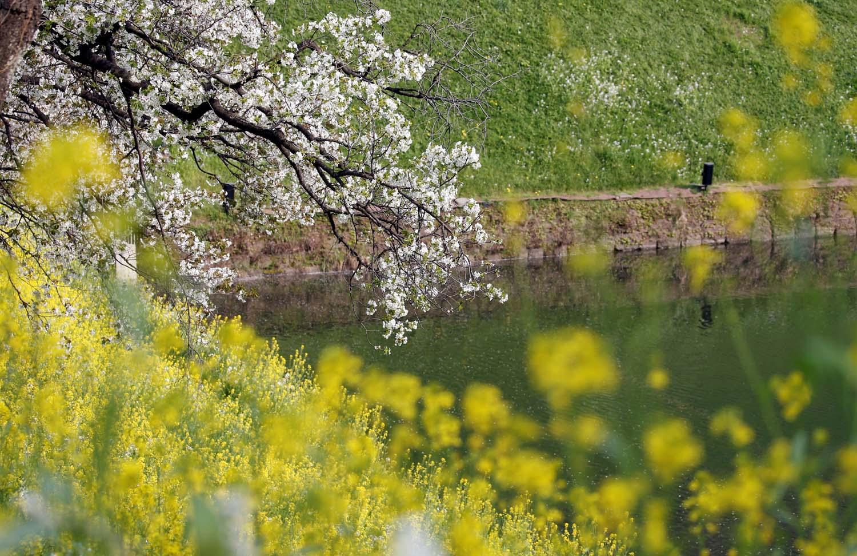 Flores de cerezo y un campo de mostaza se ven en un foso del Palacio Imperial en Tokio, Japón, el 2 de abril de 2018. REUTERS / Toru Hanai