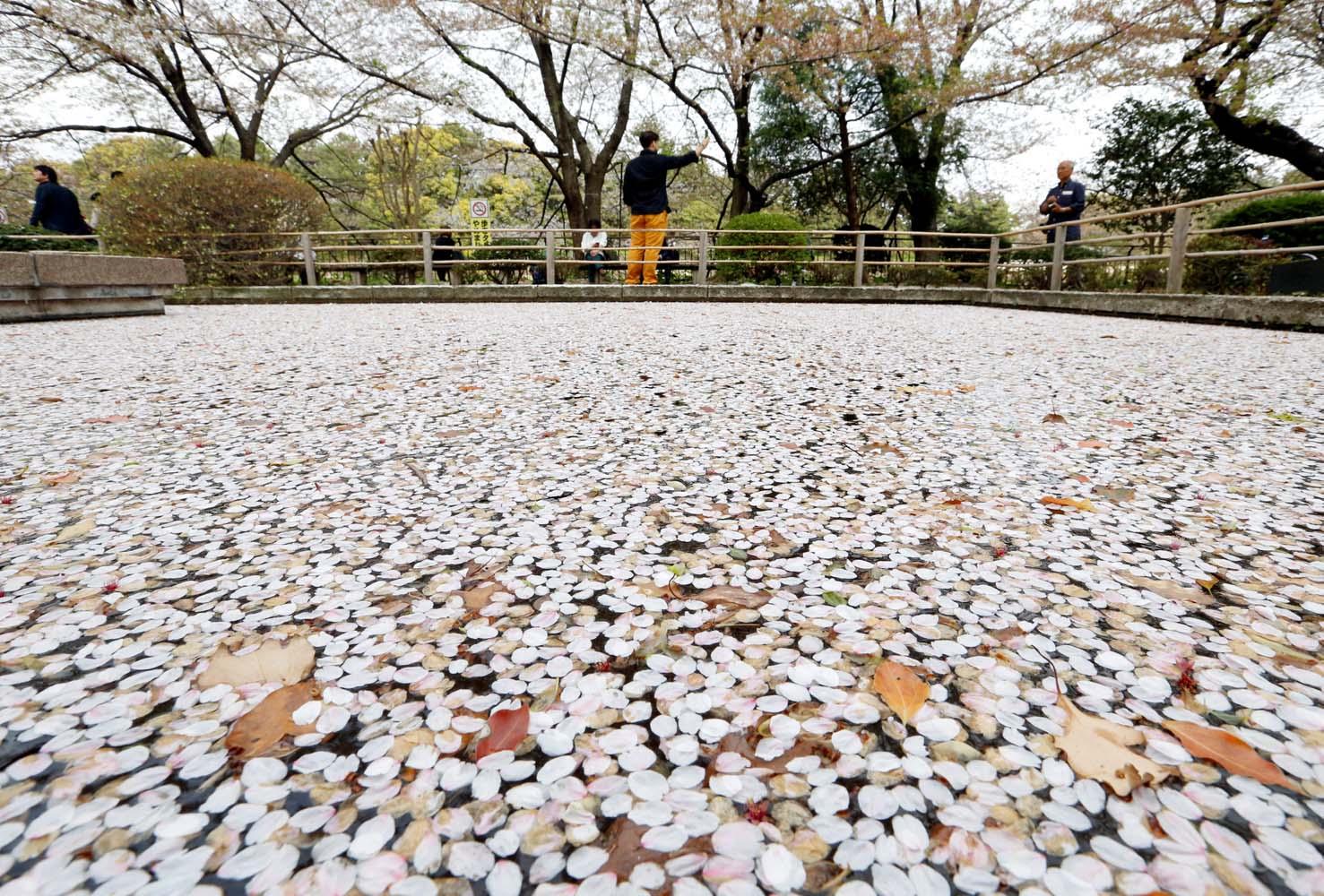 Pétalos de flores de cerezo se ven en un estanque en un parque en Tokio, Japón, el 2 de abril de 2018. REUTERS / Toru Hanai
