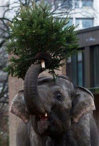 Elefantes se dan un festín con árboles de Navidad