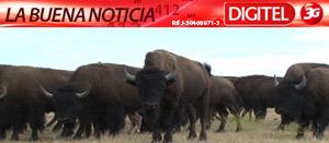 El regreso de los búfalos (Video)