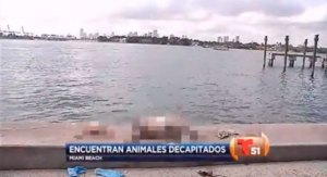 Aparecen varios animales decapitados en aguas de Miami Beach