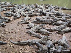 Más de diez mil cocodrilos se escaparon de una granja