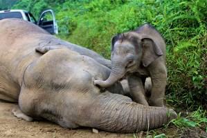 Mueren diez elefantes pigmeo (Fotos)