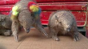 Animales que sufren el carnaval (Video)