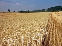 El cambio climático transforma en un casino el mercado de los cereales
