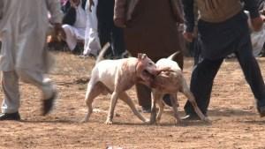 Perros pelean a morir en Pakistán (Video)