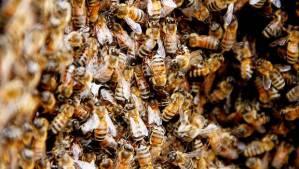 Crean gel vaginal con veneno de abejas que destruye el VIH