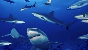Cierran cuatro playas australianas por la presencia de más de 100 tiburones