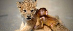 Cachorro de león y un mono bebé se convierten en los mejores amigos (Fotos)
