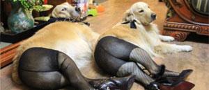 Imágenes de perros con pantimedias y tacones reciben fuertes críticas (FOTOS)