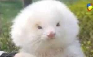 Les vendieron hurones llenos de esteroides diciendo que eran poodles… y los compraron (WTF)