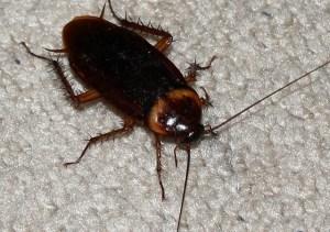 Cucarachas perciben peligro en el azúcar
