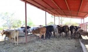 Ganaderos exigen incrementar 100% el precio de la leche
