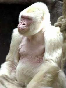Gorila albino a causa de la endogamia (Fotos)