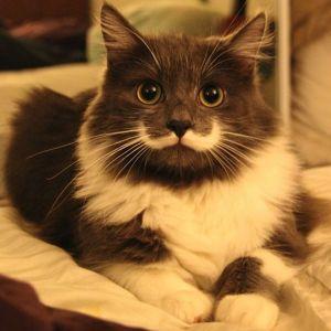 Gato con un mostacho es la nueva sensación en Internet (Foto)