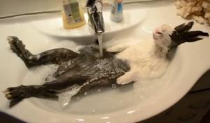 Un conejo disfruta de su baño de espuma (Foto + Video + Cómico)