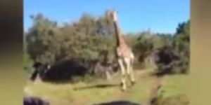 Jirafa enojada persigue a turistas (Video)
