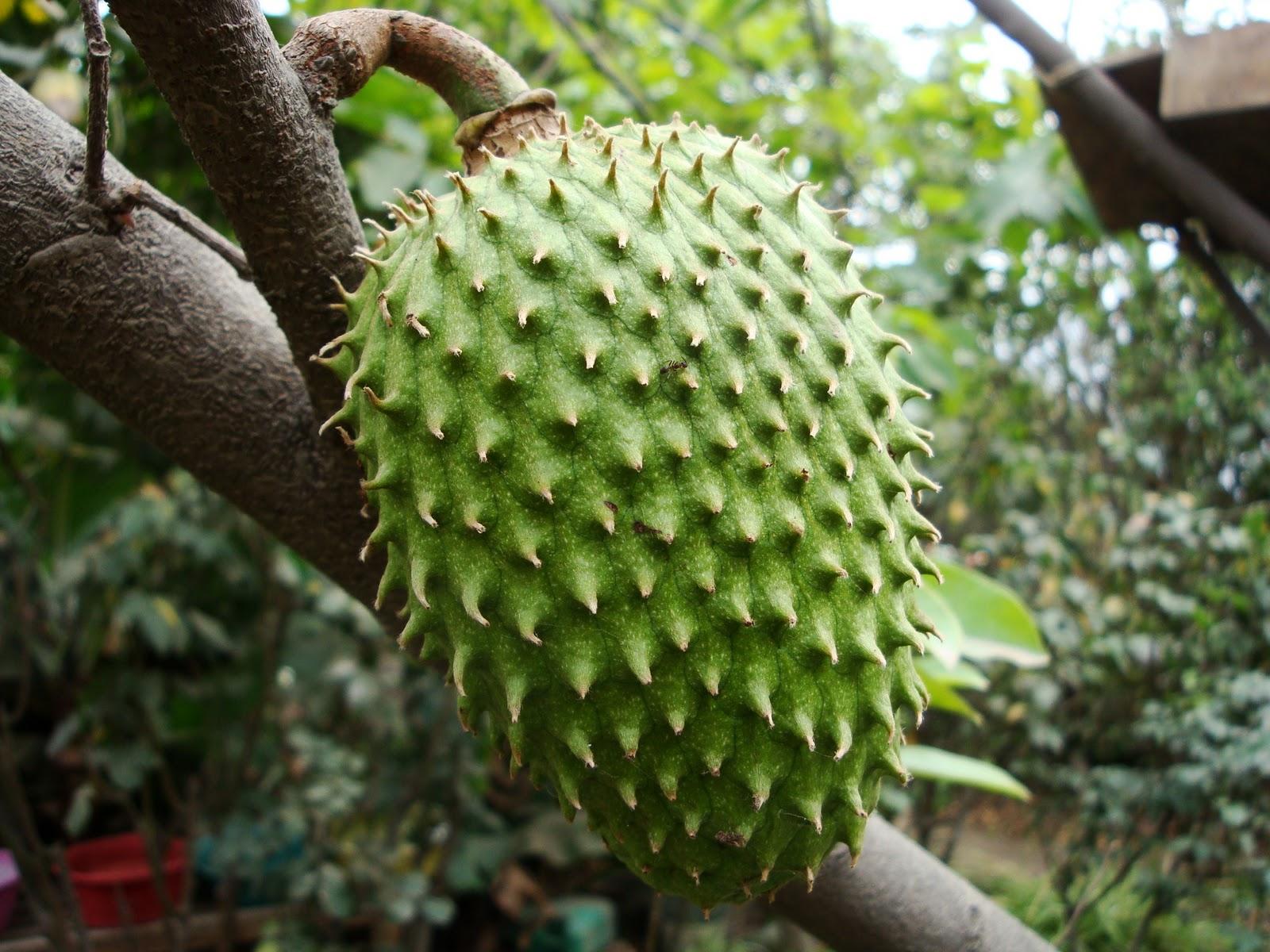 Conoce la fruta que mata las células cancerosas