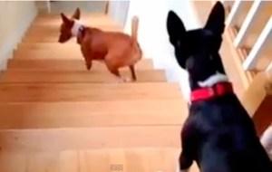 Mira como sube las escaleras este perrito (Video)