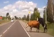 Vea como estos animales hacían el amor en la carretera, fueron arrollados y salieron ilesos