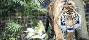 Cinco indonesios llevan 3 días subidos a un árbol amenazados por tigres