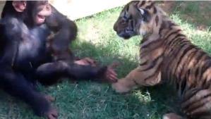 Insólita amistad: Un Chimpancé bebé, cachorros de tigre y cría de lobo juegan juntos (Video)