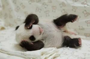 Cariño de panda (Fotos y Video)