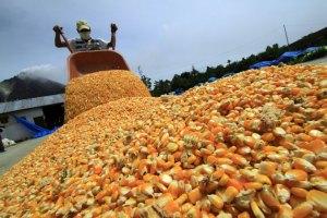 En retroceso producción de harina de maíz