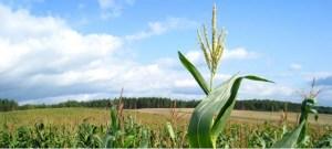 Cosecha récord de maíz en EEUU anima a compradores, entre ellos Venezuela