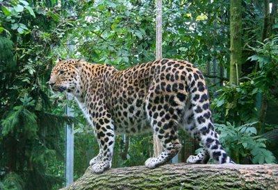 leopardo_de_amur