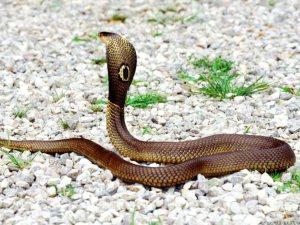 ¿Por qué las serpientes no se resbalan al trepar árboles?