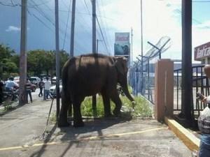 Caos en Nicaragua por un elefante en medio de la carretera (Fotos)