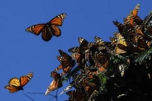 La mariposa monarca podría ser clasificada como especie amenazada en EEUU