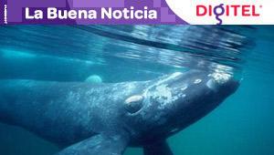 Genoma de ballenas boreales, resistentes a envejecimiento y a cáncer