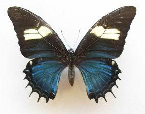Conoce la extraña mariposa que es mitad macho, mitad hembra