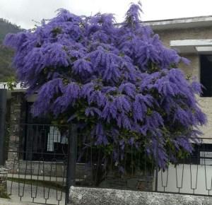 El Nazareno en flor de los Palos Grandes (foto)