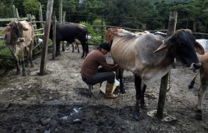 Fedenaga: 100 mil litros de leche producidos en Zulia se dañaron por falla eléctrica