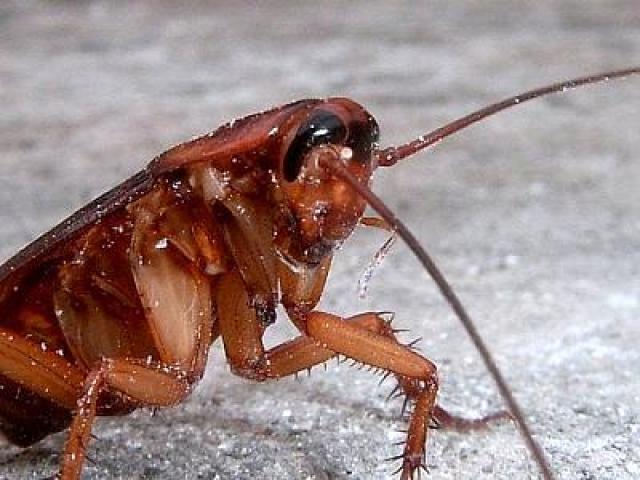 cucaracha-de-cerca
