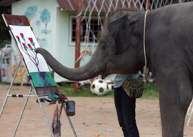 Una cría de elefante hace una demostración de sus habilidades artísticas en el Centro Surin de Estudios de Elefantes, cerca de la población Ban Ta Klang, también conocida como el pueblo de elefantes Ban Chang, en Tailandia, el 30 de julio de 2015. El centro adiestra a estos mamíferos para ofrecer espectáculos diarios a los turistas. EFE/Rungroj Yongrit