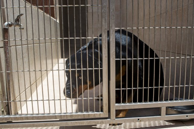 A Rottweiler dog is seen in a cage in a veterinary clinic in Caracas, Venezuela September 22, 2015. Venezuelan pet shops are struggling to stock shelves with food and medicine due to economic crisis, forcing dog and cat owners to stretch feed and police to ration food for canine units. REUTERS/Marco Bello