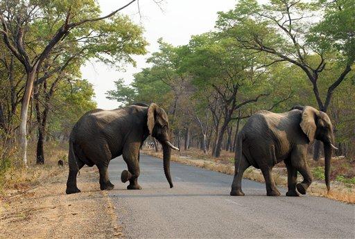 En esta foto del 1 de octubre del 2015, elefantes cruzan un camino en el Parque Nacional de Hwange, unos 700 kilómetros al suroeste de Harare, Zimbabue.Catorce elefantes murieron envenenados por cianuro de potasio en tres incidentes separados en Zimbabue, anunció el martes, 6 de septiembre del 2015, una funcionaria de la agencia de parques.  (Foto AP/Tsvangirayi Mukwazhi)
