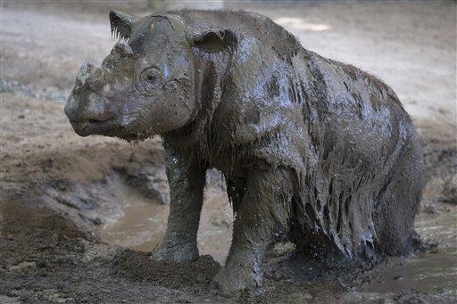 ARCHIVO - En esta foto de archivo del 3 de septiembre de 2015, Harapan, un rinoceronte de Sumatra, se revuelca en el lodo en su hábitat de la fauna en el Zoológico de Cincinnati y los Jardines Botánicos, en Cincinnati. La cuenta regresiva para quien quiera ver al último rinoceronte de Sumatra en Estados Unidos ha comenzado y el 29 de octubre será la última visita abierta al público, antes de que Harapan sea enviado al sureste asiático. (Foto AP/John Minchillo, Archivo)