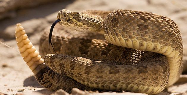serpiente-cascabel