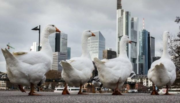 Los gansos caminan a lo largo de las orillas del río Main el 18 de noviembre, 2015, en Frankfurt am Main, Alemania occidental, como el distrito financiero de la ciudad se puede ver en el fondo. AFP PHOTO / DPA / FRANK Rumpenhorst