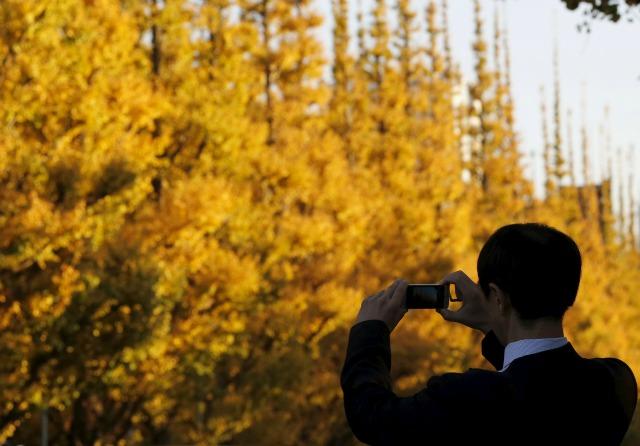 Un hombre toma una foto de ginkgo hojas amarillas en Tokio, Japón, 01 de diciembre de 2015. REUTERS / Toru Hanai