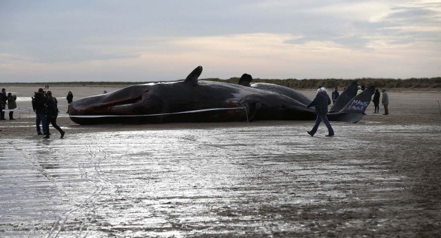 Two sperm whales lie on the sand after being washed ashore at Skegness beach in Skegness, Britain January 25, 2016. Three dead sperm whales washed up in Skegness on the weekend, local media reported. REUTERS/Andrew Yates