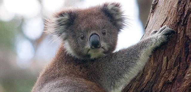 australia-koala