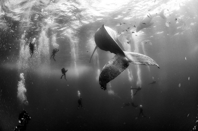 """Segundo premio de la categoría """"Naturaleza"""", Anuar Patjane Floriuk. Los buzos rodean una ballena jorobada y su cría recién nacida en las Islas Revillagigedo, México"""