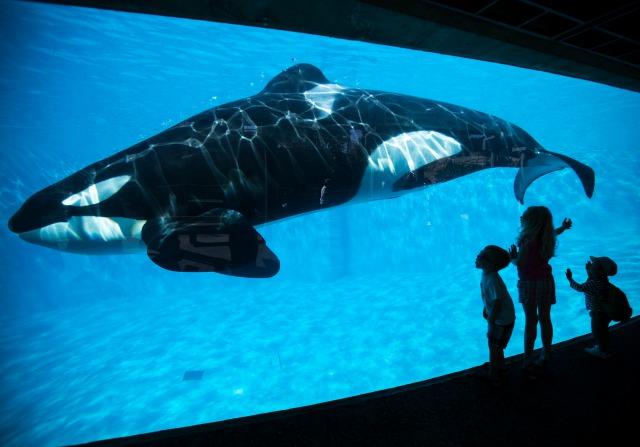 Los niños pequeños sufren una vista de primer plano de una ballena asesina orca durante una visita al Sea World animales parque temático en San Diego, California, en esta foto de archivo tomada el 19 de marzo de 2014. Cediendo a años de presión de los derechos de los animales, EE.UU. tema operador de parques de SeaWorld dijo el jueves que deje de ballenas asesinas de cría y que las actualmente en sus parques sería la última. REUTERS / Mike Blake / Archivos